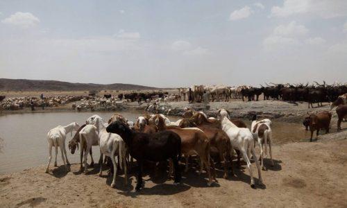 bétail troupeau