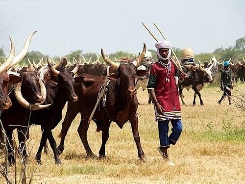 Éleveur peul et ses vaches